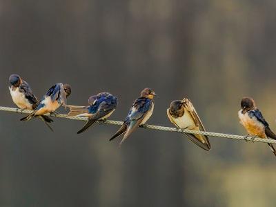 Linnut istuvat vierekkäin langalla.