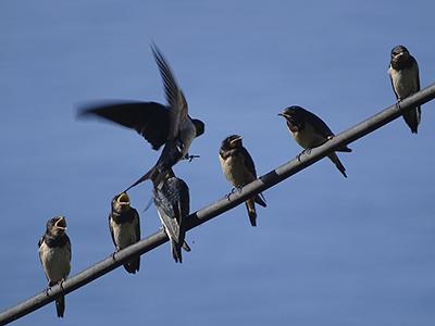 Kuusi lintua istuu sähköjohdolla ja yksi on laskeutumassa johdon päälle.