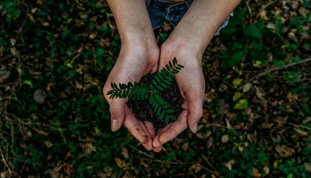 Ihminen nostaa käsissään pientä kasvin taimea.